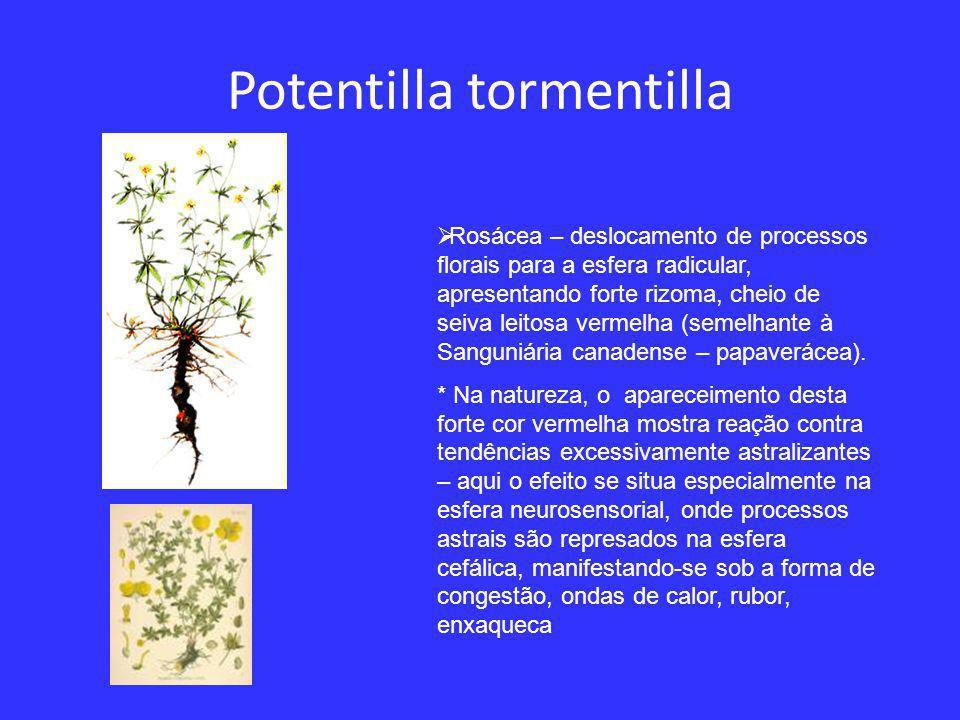 Potentilla tormentilla  Rosácea – deslocamento de processos florais para a esfera radicular, apresentando forte rizoma, cheio de seiva leitosa vermelha (semelhante à Sanguniária canadense – papaverácea).
