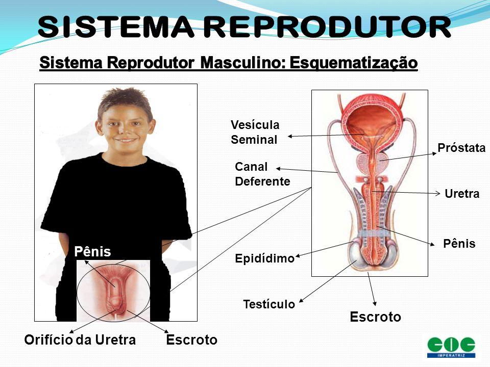 Uretra Epidídimo Testículo Escroto Vesícula Seminal Próstata Pênis Canal Deferente Escroto Pênis Orifício da Uretra