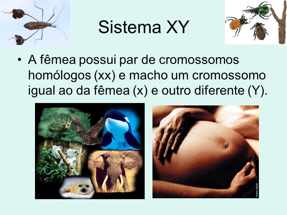 Sistema XY •A fêmea possui par de cromossomos homólogos (xx) e macho um cromossomo igual ao da fêmea (x) e outro diferente (Y).