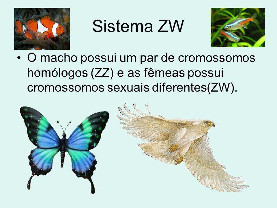 Sistema Z0 •Os machos têm um par de cromossomos sexuais (ZZ) e as fêmeas apenas um cromossomo (Z0).