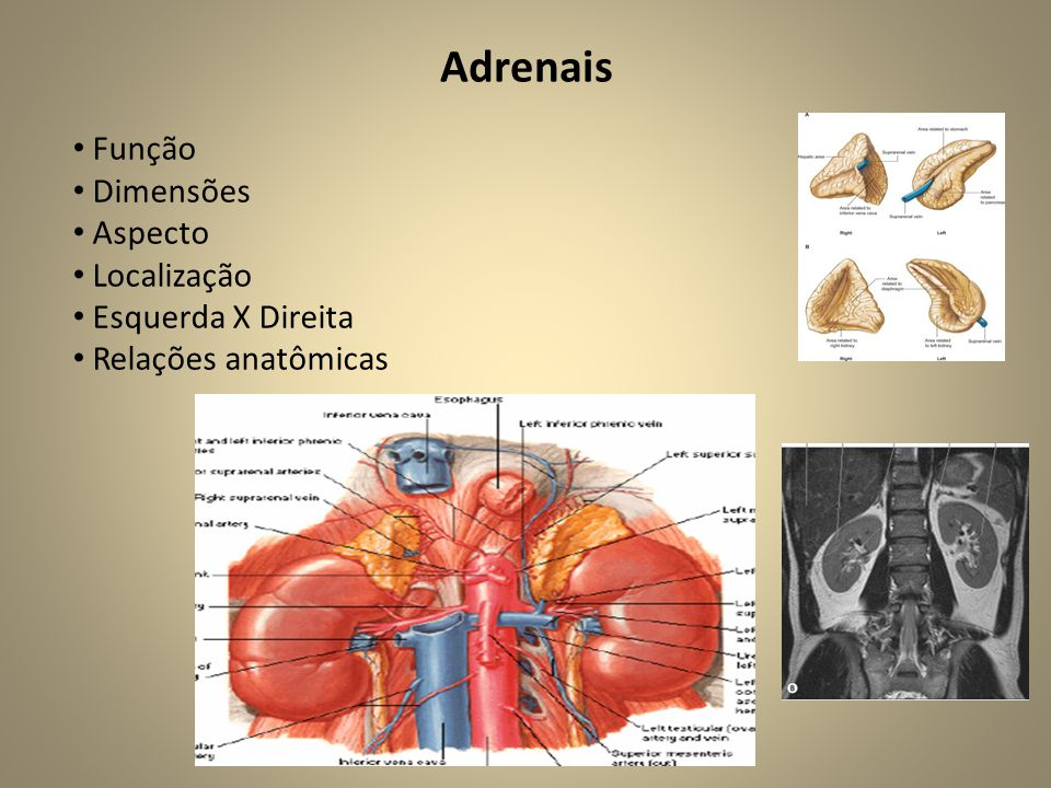 Adrenais • Função • Dimensões • Aspecto • Localização • Esquerda X Direita • Relações anatômicas