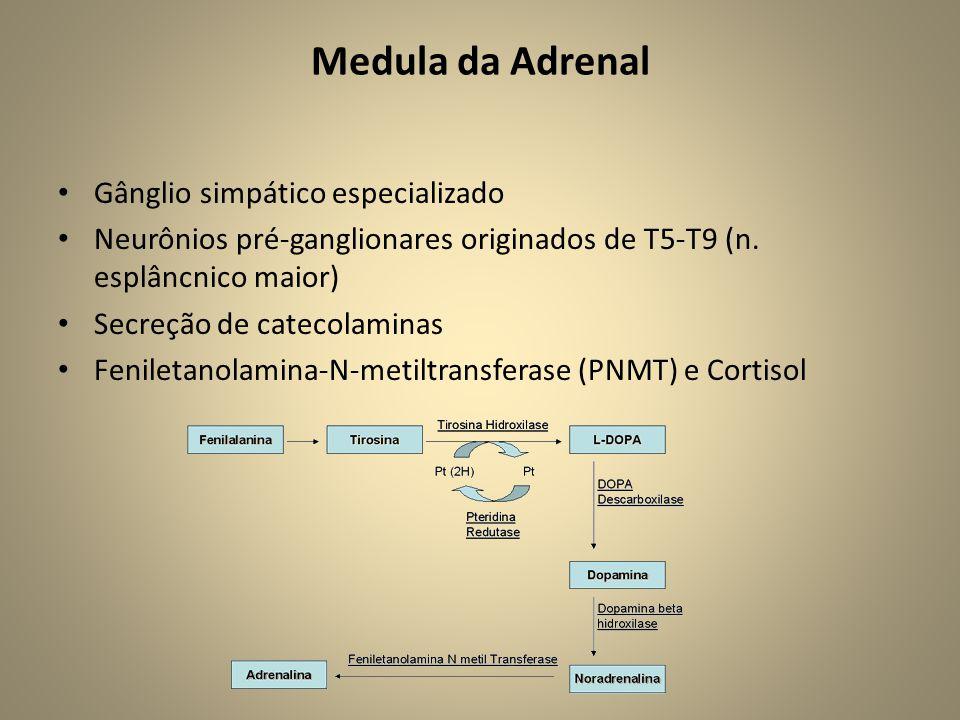 Medula da Adrenal • Gânglio simpático especializado • Neurônios pré-ganglionares originados de T5-T9 (n.
