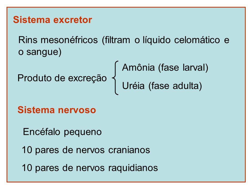 Sistema excretor Rins mesonéfricos (filtram o líquido celomático e o sangue) Amônia (fase larval) Uréia (fase adulta) Produto de excreção Sistema nervoso 10 pares de nervos cranianos 10 pares de nervos raquidianos Encéfalo pequeno