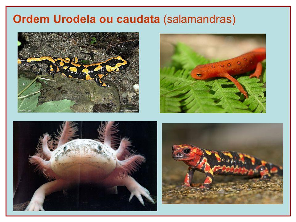 Ordem Urodela ou caudata (salamandras)