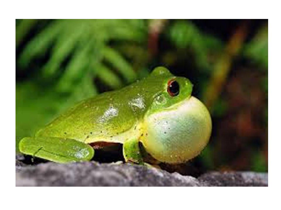 RÃ Hábitat: mora principalmente em lagoas Tamanho: de 9,8 milímetros a 30 centímetros Número de espécies: mais de 4 mil Se o sapo assusta pelo veneno, a rã é considerada um prato sofisticado em muitos países.