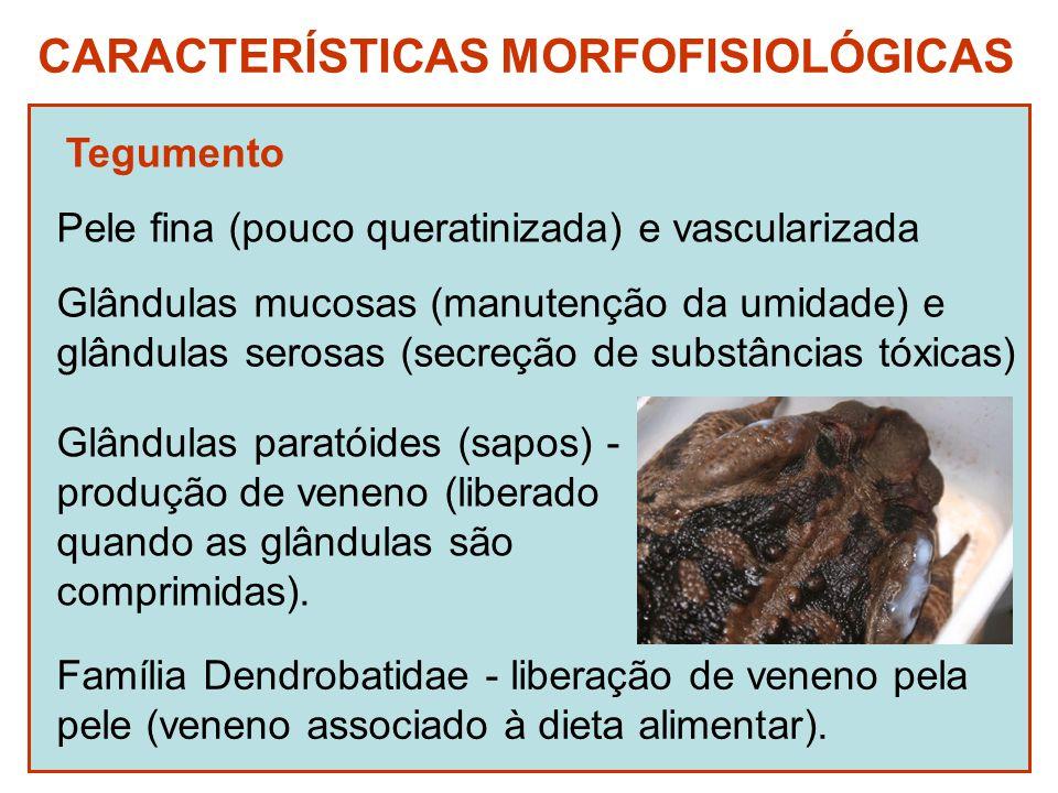 CARACTERÍSTICAS MORFOFISIOLÓGICAS Tegumento Pele fina (pouco queratinizada) e vascularizada Glândulas mucosas (manutenção da umidade) e glândulas serosas (secreção de substâncias tóxicas) Glândulas paratóides (sapos) - produção de veneno (liberado quando as glândulas são comprimidas).