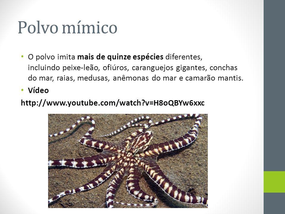 Polvo mímico • O polvo imita mais de quinze espécies diferentes, incluindo peixe-leão, ofiúros, caranguejos gigantes, conchas do mar, raias, medusas,