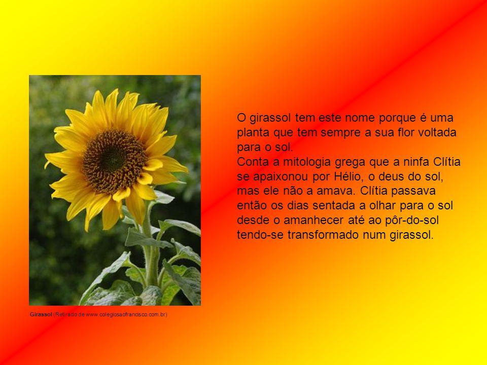 O girassol tem este nome porque é uma planta que tem sempre a sua flor voltada para o sol.
