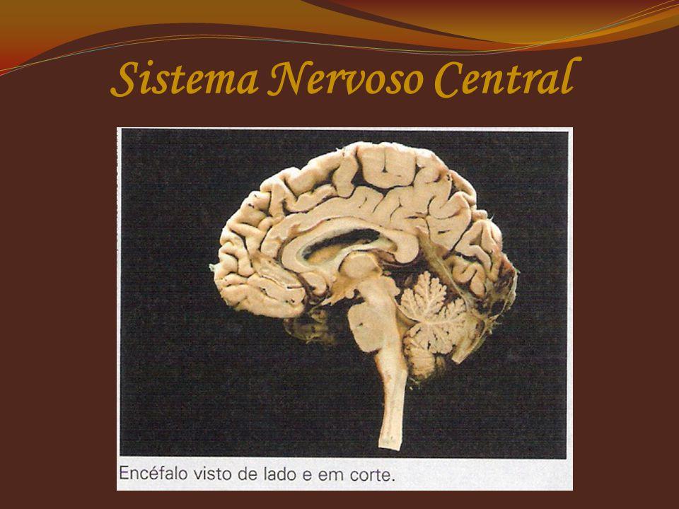 Sistema Nervoso Central Cérebro  Maior parte do encéfalo  Dividi-se em dois hemisférios: o direito e o esquerdo;  Associados aos sentidos, a memóri