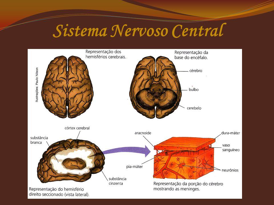 Tálamo (câmara)  Recebe mensagens dos órgãos dos sentidos;  Transmite para regiões apropriadas do cérebro, entre outras funções. Hipotálamo (abaixo)
