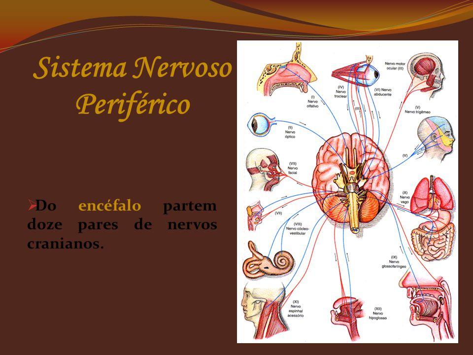  Nervos sensoriais, são os que levam informações da periferia do corpo para o SNC (nervos aferentes ou nervos sensitivos), que são formados por prolo