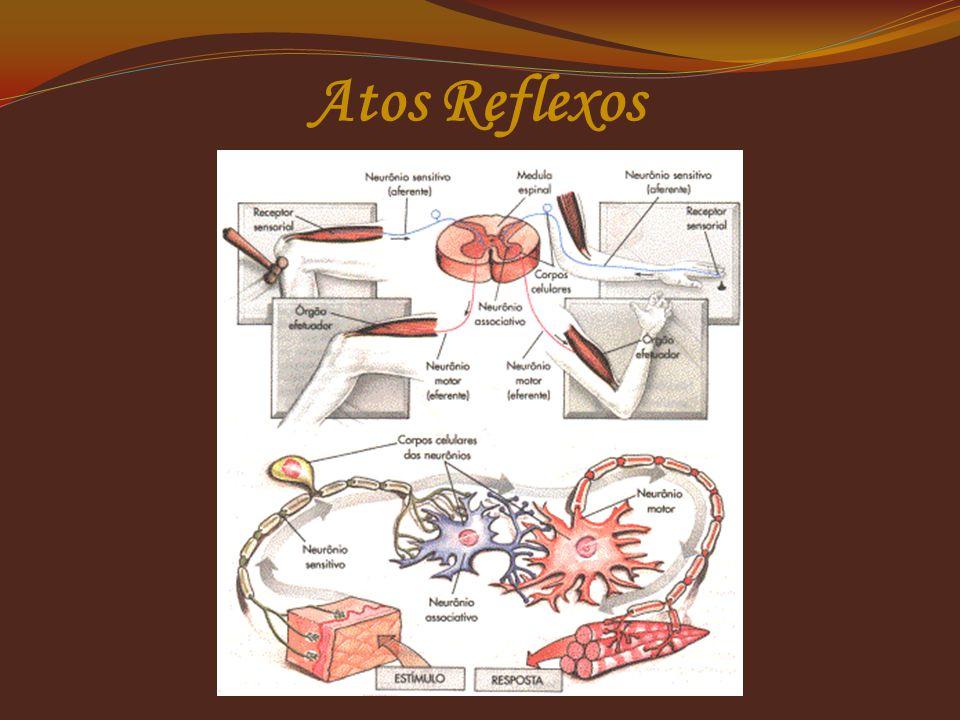  Os atos reflexos ou simplesmente reflexos são respostas automáticas, involuntárias a um estímulo sensorial.  O estímulo chega ao órgão receptor, é