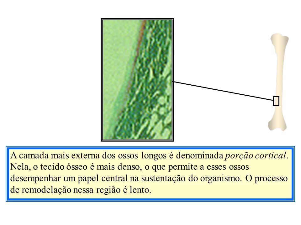 A camada mais externa dos ossos longos é denominada porção cortical. Nela, o tecido ósseo é mais denso, o que permite a esses ossos desempenhar um pap