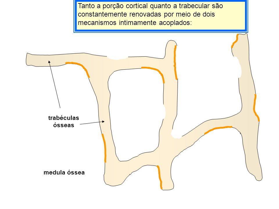 Tanto a porção cortical quanto a trabecular são constantemente renovadas por meio de dois mecanismos intimamente acoplados: trabéculas ósseas medula ó