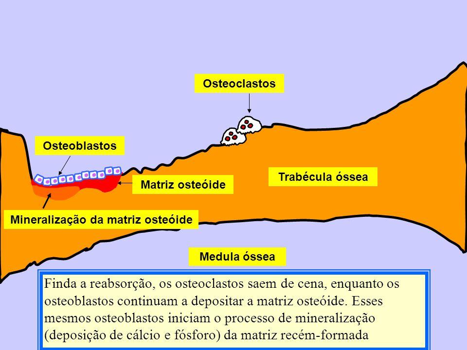 Finda a reabsorção, os osteoclastos saem de cena, enquanto os osteoblastos continuam a depositar a matriz osteóide. Esses mesmos osteoblastos iniciam