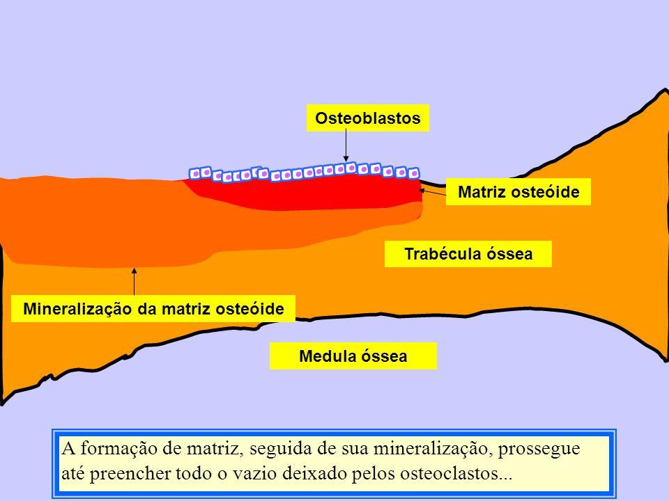 Medula óssea Trabécula óssea Matriz osteóide Mineralização da matriz osteóide Osteoblastos A formação de matriz, seguida de sua mineralização, prosseg