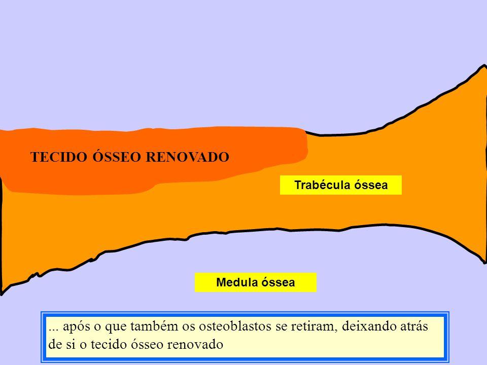 Medula óssea Trabécula óssea... após o que também os osteoblastos se retiram, deixando atrás de si o tecido ósseo renovado TECIDO ÓSSEO RENOVADO