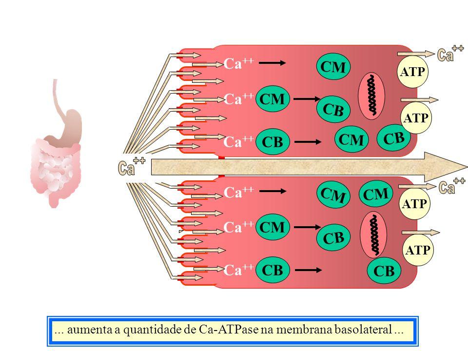Ca... aumenta a quantidade de Ca-ATPase na membrana basolateral... CM CB Ca ++ CM CB Ca ++ CM CB CM CB CM Ca ++ CM ATP