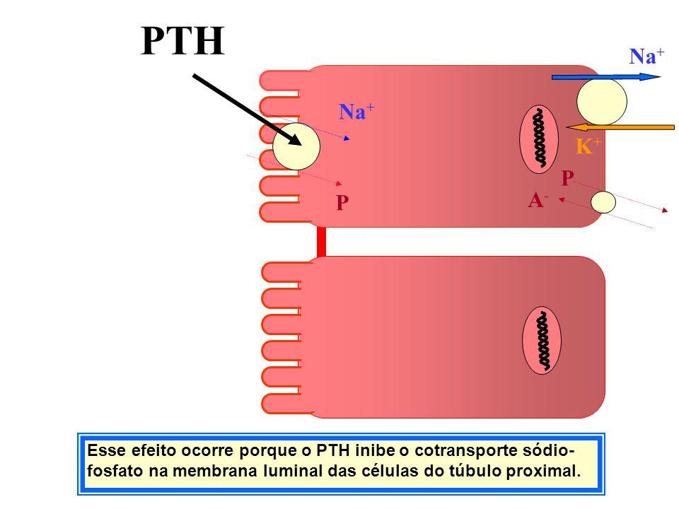 Esse efeito ocorre porque o PTH inibe o cotransporte sódio- fosfato na membrana luminal das células do túbulo proximal. K+K+ Na + P PTH P A-A-