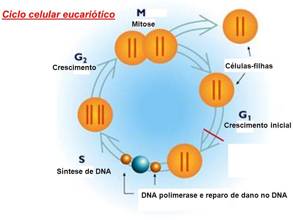 Crescimento Mitose Células-filhas Crescimento inicial DNA polimerase e reparo de dano no DNA Síntese de DNA Ciclo celular eucariótico