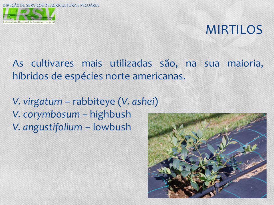 MIRTILOS DIREÇÃO DE SERVIÇOS DE AGRICULTURA E PECUÁRIA As cultivares mais utilizadas são, na sua maioria, híbridos de espécies norte americanas. V. vi