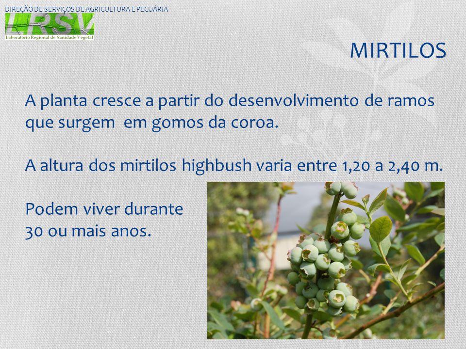 MIRTILOS DIREÇÃO DE SERVIÇOS DE AGRICULTURA E PECUÁRIA A planta cresce a partir do desenvolvimento de ramos que surgem em gomos da coroa. A altura dos