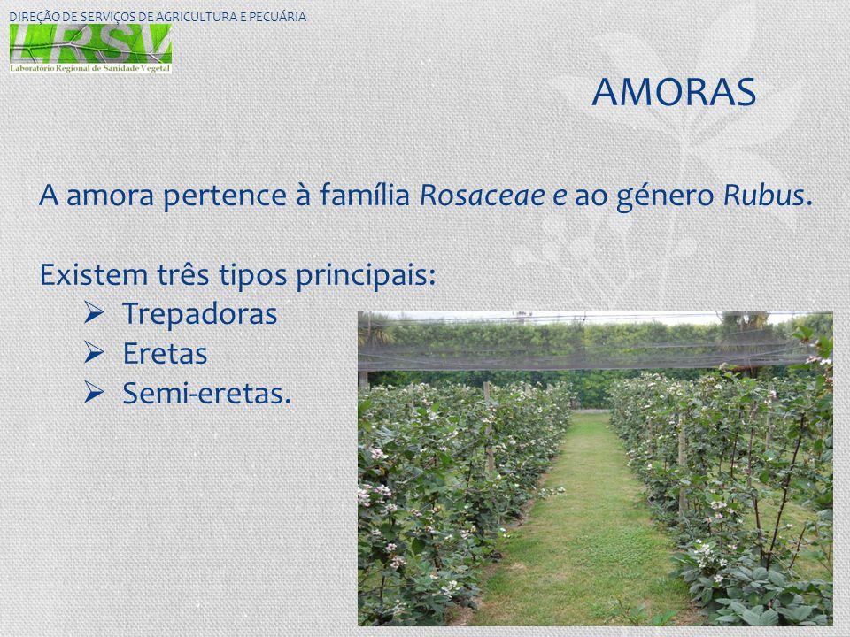 AMORAS DIREÇÃO DE SERVIÇOS DE AGRICULTURA E PECUÁRIA A amora pertence à família Rosaceae e ao género Rubus. Existem três tipos principais:  Trepadora