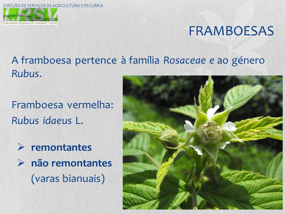 FRAMBOESAS A framboesa pertence à família Rosaceae e ao género Rubus. Framboesa vermelha: Rubus idaeus L.  remontantes  não remontantes (varas bianu