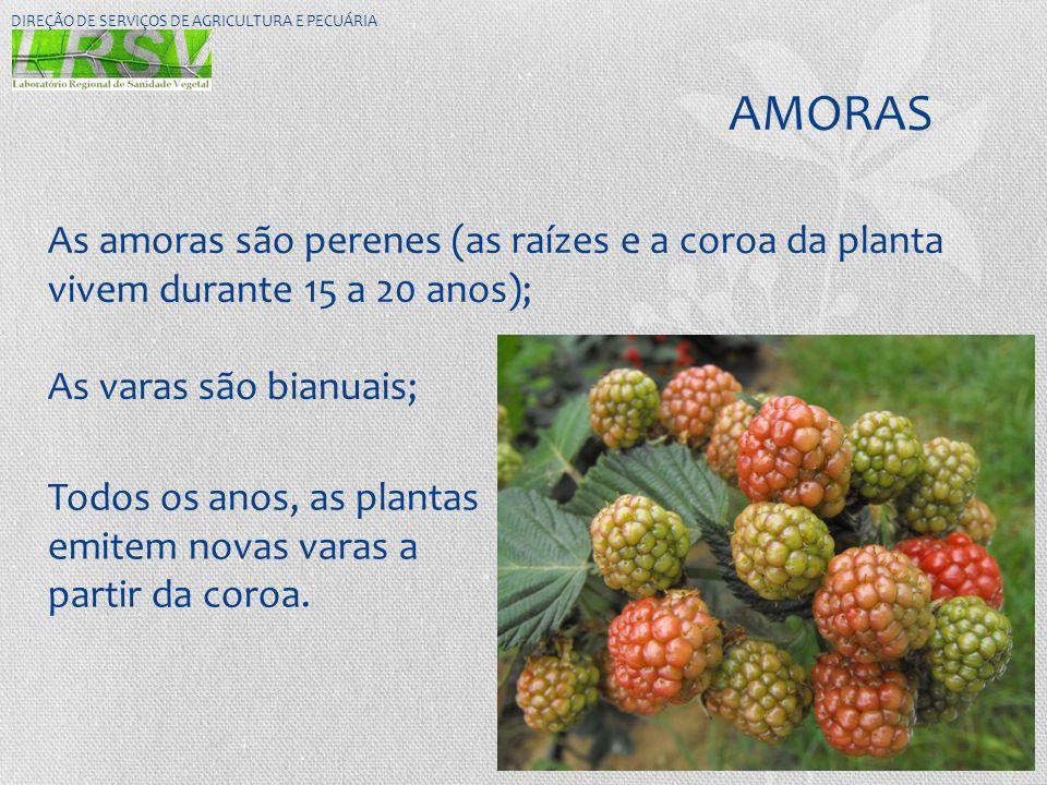 AMORAS DIREÇÃO DE SERVIÇOS DE AGRICULTURA E PECUÁRIA As amoras são perenes (as raízes e a coroa da planta vivem durante 15 a 20 anos); As varas são bi