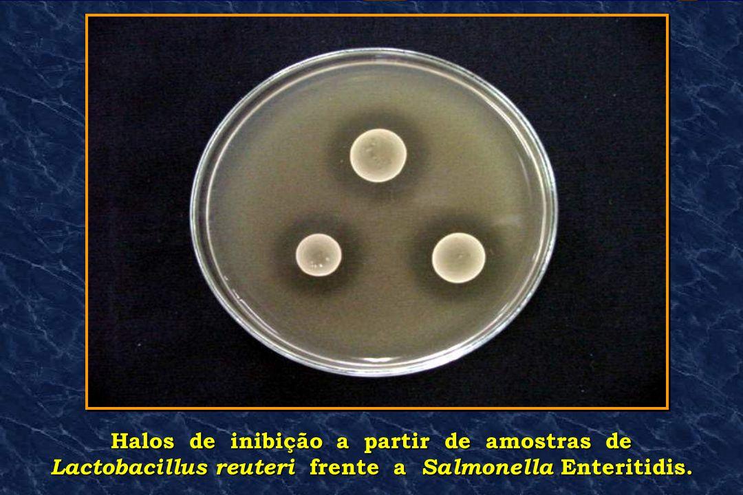 Halos de inibição a partir de amostras de Lactobacillus reuteri frente a Salmonella Enteritidis.