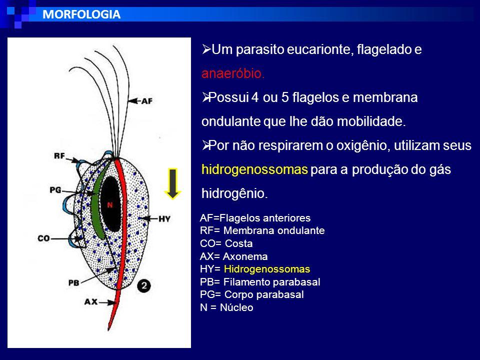 MORFOLOGIA AF=Flagelos anteriores RF= Membrana ondulante CO= Costa AX= Axonema HY= Hidrogenossomas PB= Filamento parabasal PG= Corpo parabasal N = Núcleo  Um parasito eucarionte, flagelado e anaeróbio.