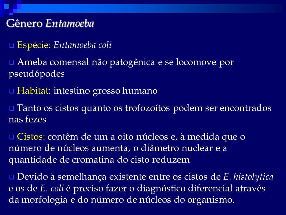 Gênero Entamoeba  Espécie: Entamoeba coli  Ameba comensal não patogênica e se locomove por pseudópodes  Habitat: intestino grosso humano  Tanto os cistos quanto os trofozoítos podem ser encontrados nas fezes  Cistos: contêm de um a oito núcleos e, à medida que o número de núcleos aumenta, o diâmetro nuclear e a quantidade de cromatina do cisto reduzem  Devido à semelhança existente entre os cistos de E.