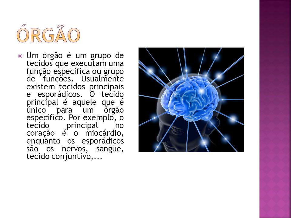  Um órgão é um grupo de tecidos que executam uma função específica ou grupo de funções.