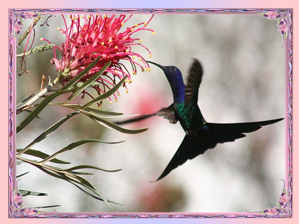 A grande variedade de beija- flores constitui uma riqueza no mundo animal com cerca de 300 espécies...