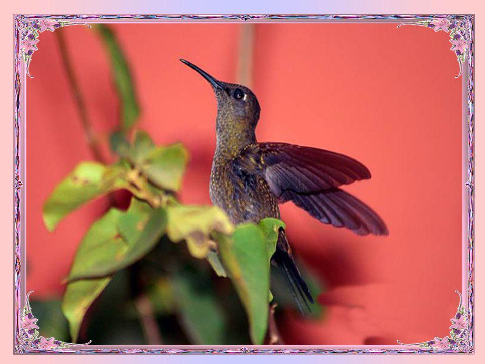 O beija-flor tem sua origem na América do Sul e as fêmeas tem muito trabalho porque são elas que constroem os ninhos, chocam os ovos e protegem os fil