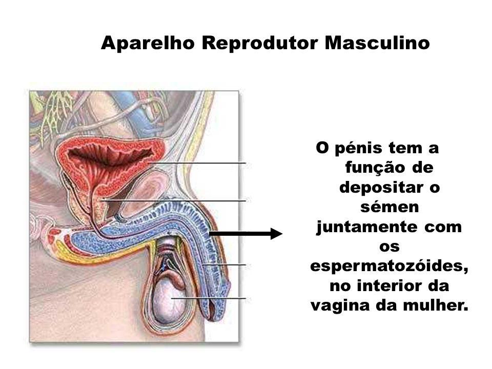 O espermatozóide ao entrar na vagina da mulher prepara-se para se encontrar com o óvulo.