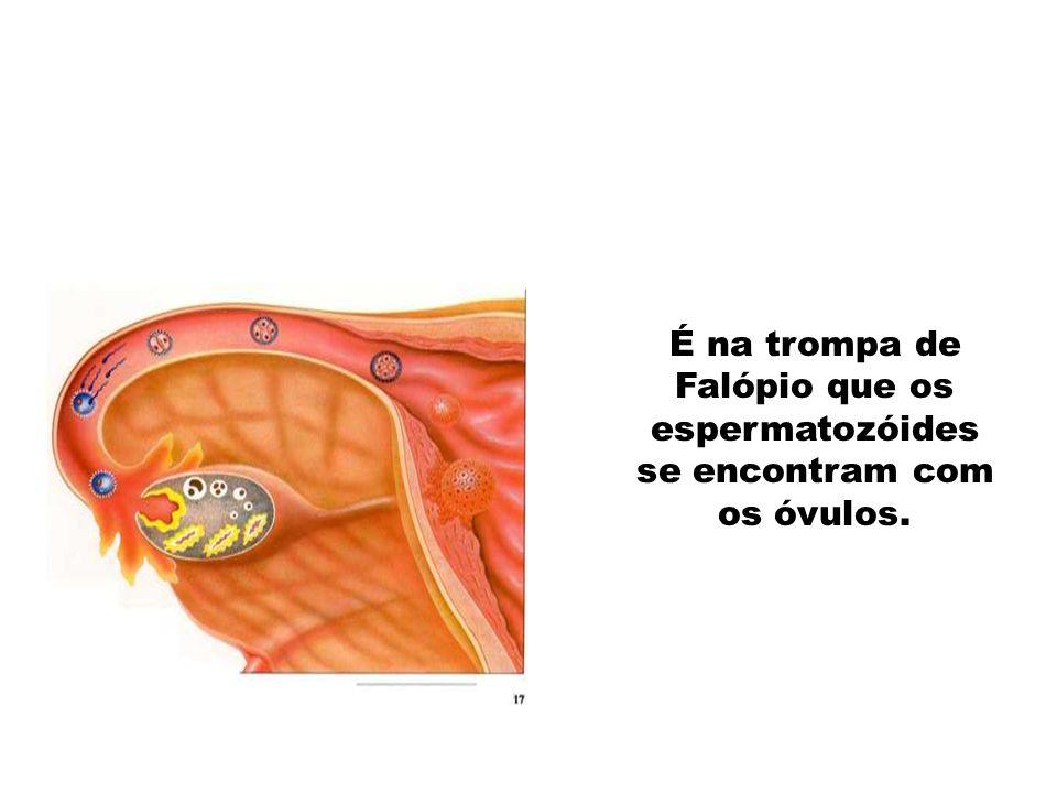 Apenas um espermatozóide conseguiu entrar no óvulo, dando- se a fecundação.
