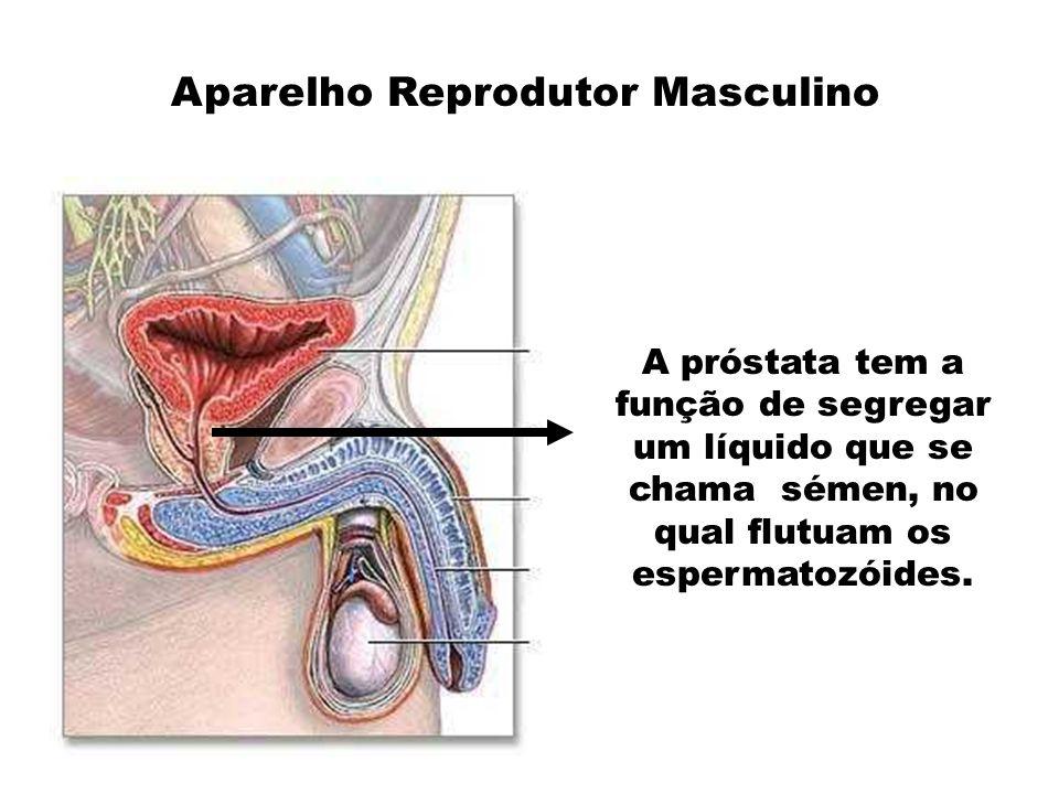 A uretra desempenha duas funções: 1.É um canal que conduz a urina desde a bexiga até ao exterior.