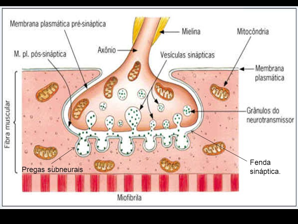 Fenda sináptica. Pregas subneurais