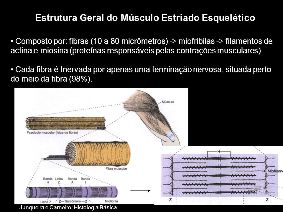 • Composto por: fibras (10 a 80 micrômetros) -> miofribilas -> filamentos de actina e miosina (proteínas responsáveis pelas contrações musculares) • Cada fibra é Inervada por apenas uma terminação nervosa, situada perto do meio da fibra (98%).