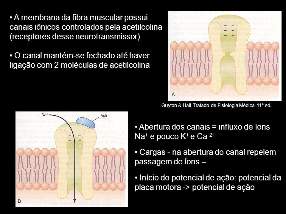 • A membrana da fibra muscular possui canais iônicos controlados pela acetilcolina (receptores desse neurotransmissor) • O canal mantém-se fechado até haver ligação com 2 moléculas de acetilcolina • Abertura dos canais = influxo de íons Na + e pouco K + e Ca 2+ • Cargas - na abertura do canal repelem passagem de íons – • Início do potencial de ação: potencial da placa motora -> potencial de ação Guyton & Hall, Tratado de Fisiologia Médica.