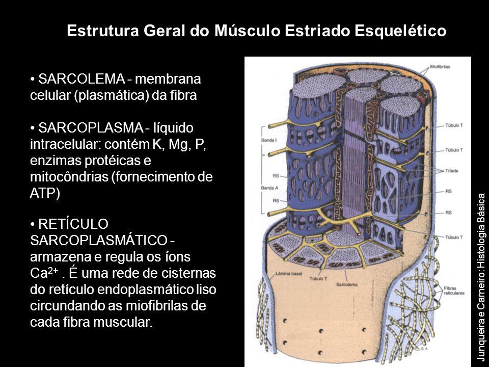 • SARCOLEMA - membrana celular (plasmática) da fibra • SARCOPLASMA - líquido intracelular: contém K, Mg, P, enzimas protéicas e mitocôndrias (fornecim