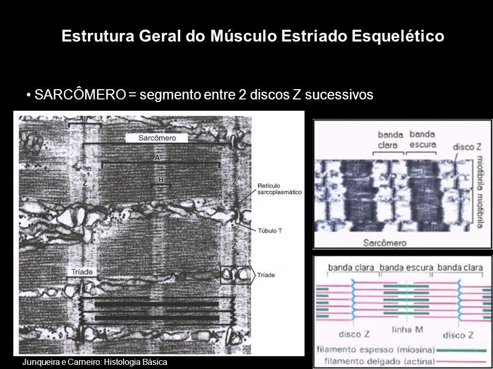 • SARCÔMERO = segmento entre 2 discos Z sucessivos Estrutura Geral do Músculo Estriado Esquelético Junqueira e Carneiro: Histologia Básica
