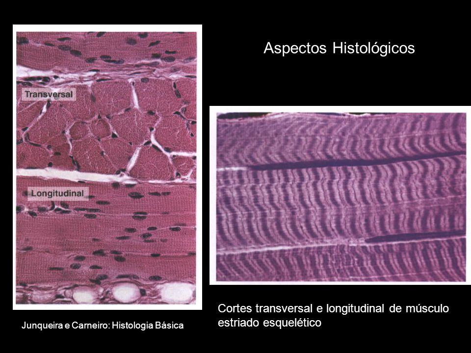 Aspectos Histológicos Cortes transversal e longitudinal de músculo estriado esquelético Junqueira e Carneiro: Histologia Básica