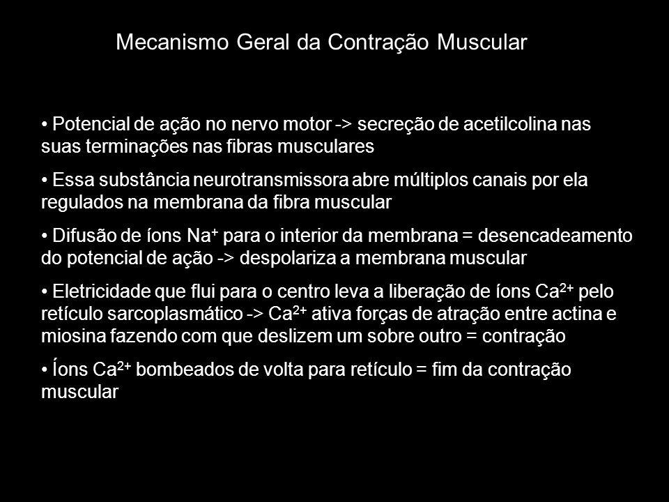 Mecanismo Geral da Contração Muscular • Potencial de ação no nervo motor -> secreção de acetilcolina nas suas terminações nas fibras musculares • Essa substância neurotransmissora abre múltiplos canais por ela regulados na membrana da fibra muscular • Difusão de íons Na + para o interior da membrana = desencadeamento do potencial de ação -> despolariza a membrana muscular • Eletricidade que flui para o centro leva a liberação de íons Ca 2+ pelo retículo sarcoplasmático -> Ca 2+ ativa forças de atração entre actina e miosina fazendo com que deslizem um sobre outro = contração • Íons Ca 2+ bombeados de volta para retículo = fim da contração muscular