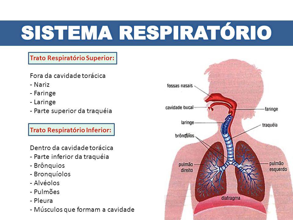 Trato Respiratório Superior: Fora da cavidade torácica - Nariz - Faringe - Laringe - Parte superior da traquéia Trato Respiratório Inferior: Dentro da