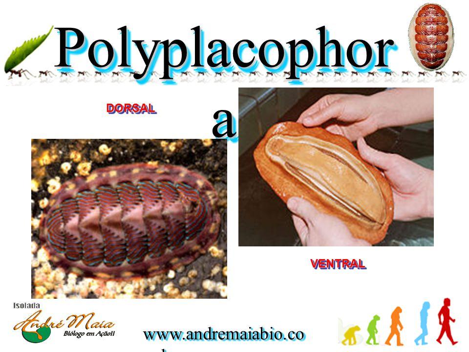 www.andremaiabio.co m.br Polyplacophor a DORSALDORSAL VENTRALVENTRAL