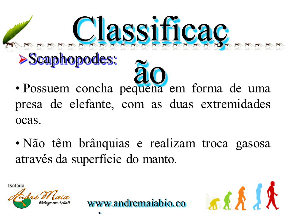 www.andremaiabio.co m.br Classificaç ão  Scaphopodes: • Possuem concha pequena em forma de uma presa de elefante, com as duas extremidades ocas. • Nã