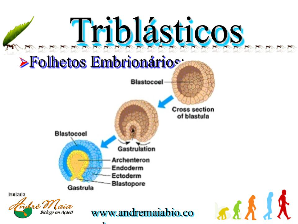 TriblásticosTriblásticos  Folhetos Embrionários: