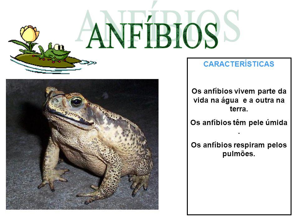 CARACTERÍSTICAS Os anfíbios vivem parte da vida na água e a outra na terra. Os anfíbios têm pele úmida. Os anfíbios respiram pelos pulmões.